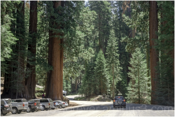 Giant Sequoia tree trunk highway cars road CA