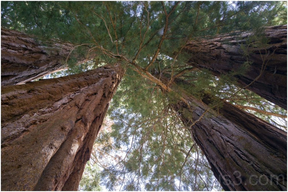 Giant Sequoia tree trunk NationalPark California