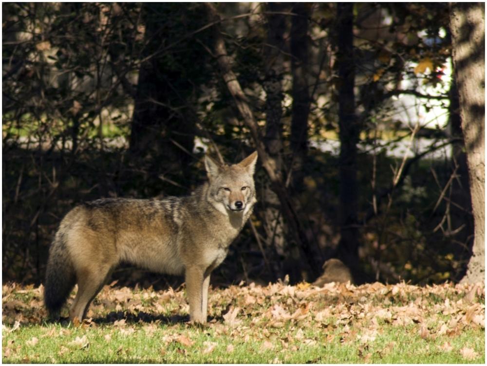 coyote wolf canine animal wildlife garden