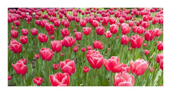 'end of the world tulips'