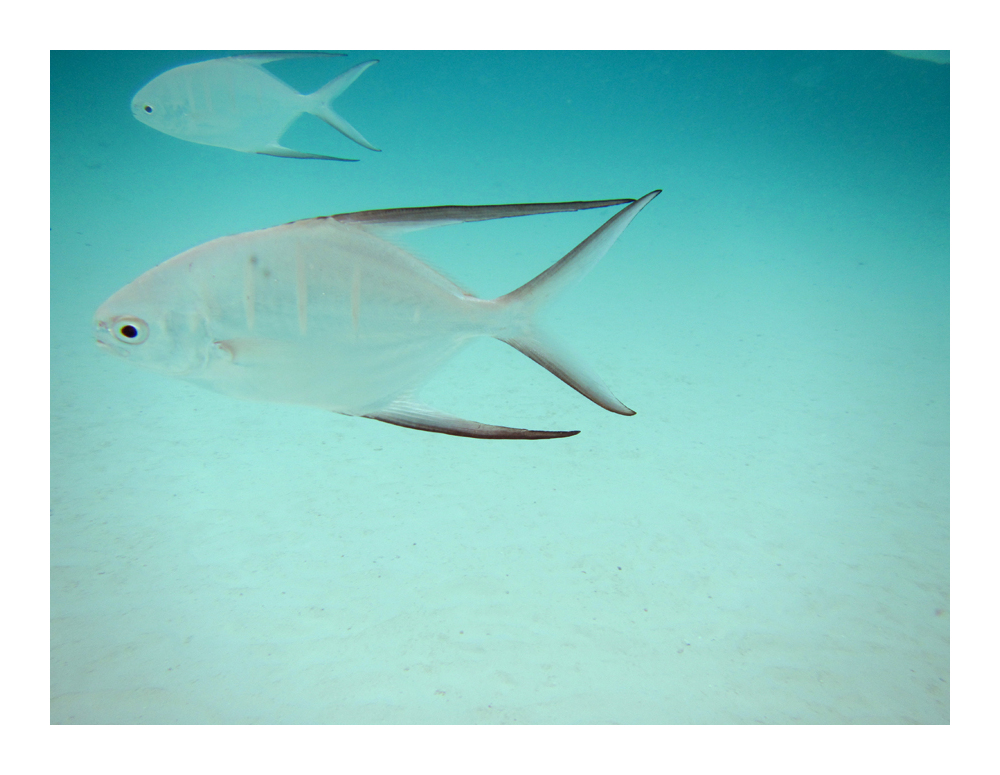 friendly fish .. Palometa