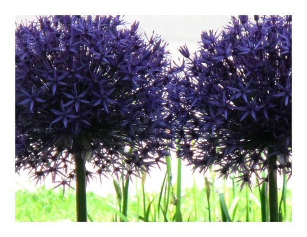 .. purple allium ..