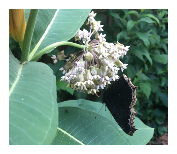 .. more Mourning Cloak ..