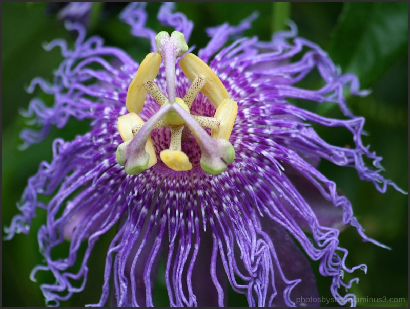 Passion Flower #8