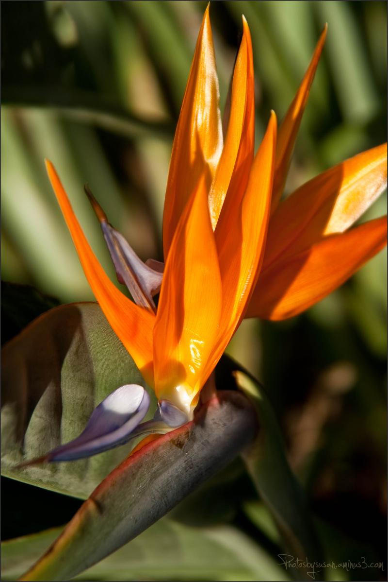 Bird of Paradise, II