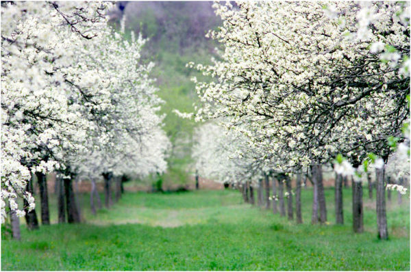 An apple orchard in springtime