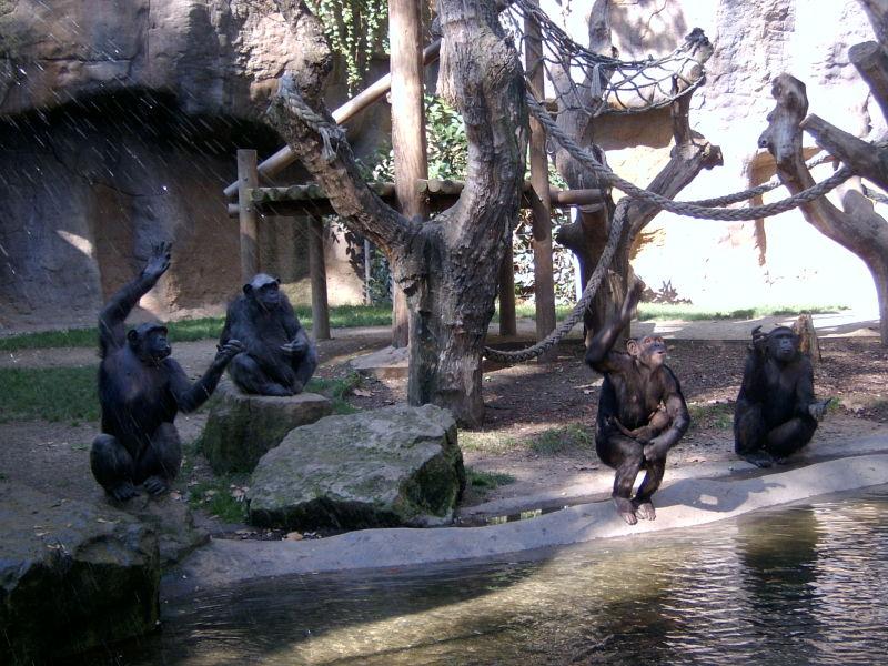 Zoo de Barcelona (I). Ximpanzès