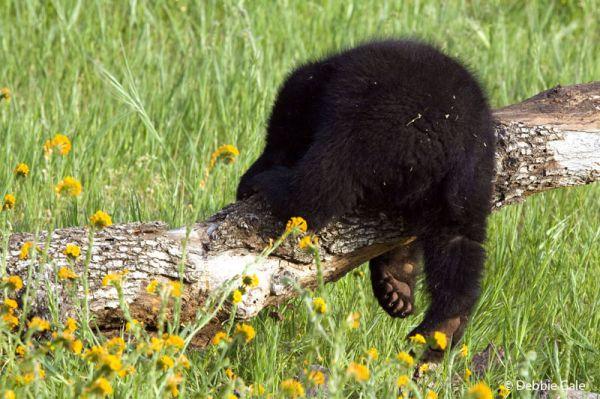 Baby Bear Butt...
