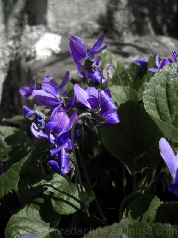 violets, Varese Ligure