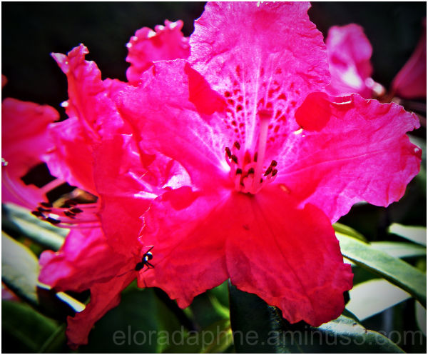 ant rhododendron