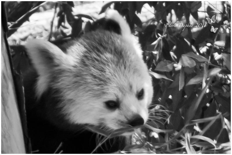 red panda san diego zoo