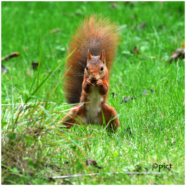 boxing squirrel proudly standing ...