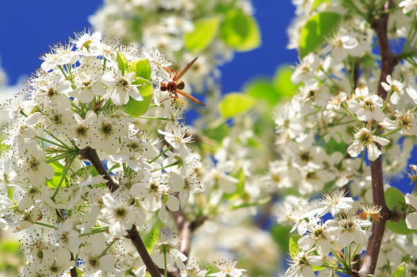 wasp on a japanese pear tree blossom