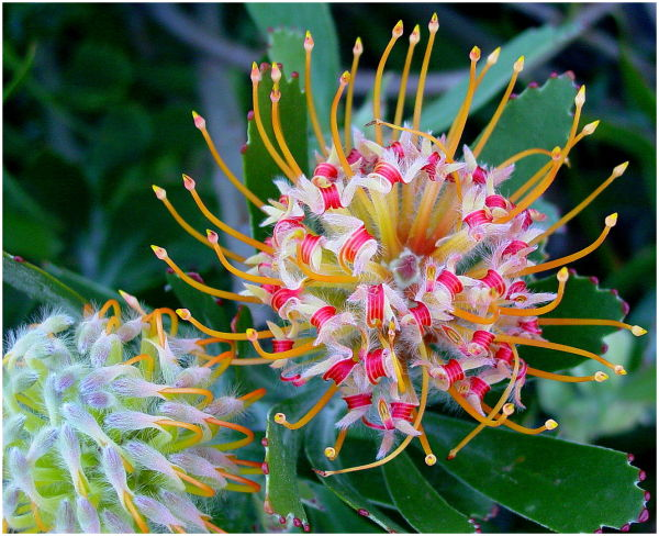 Australian Wildflower 3
