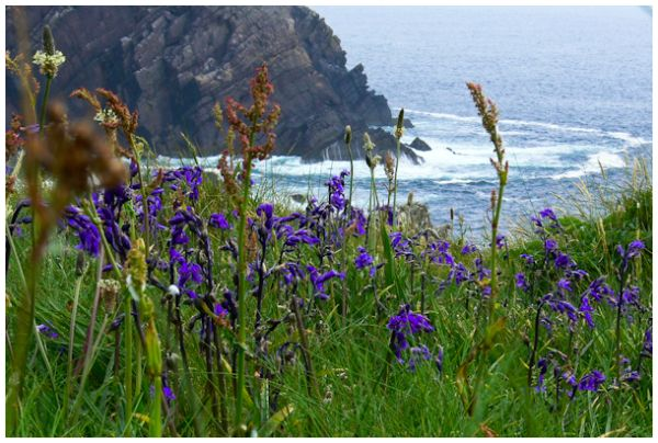 Irish Coast with Bluebells