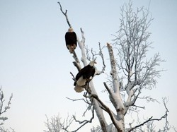 bald eagles waiting for fish