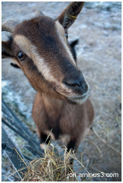goat close-up