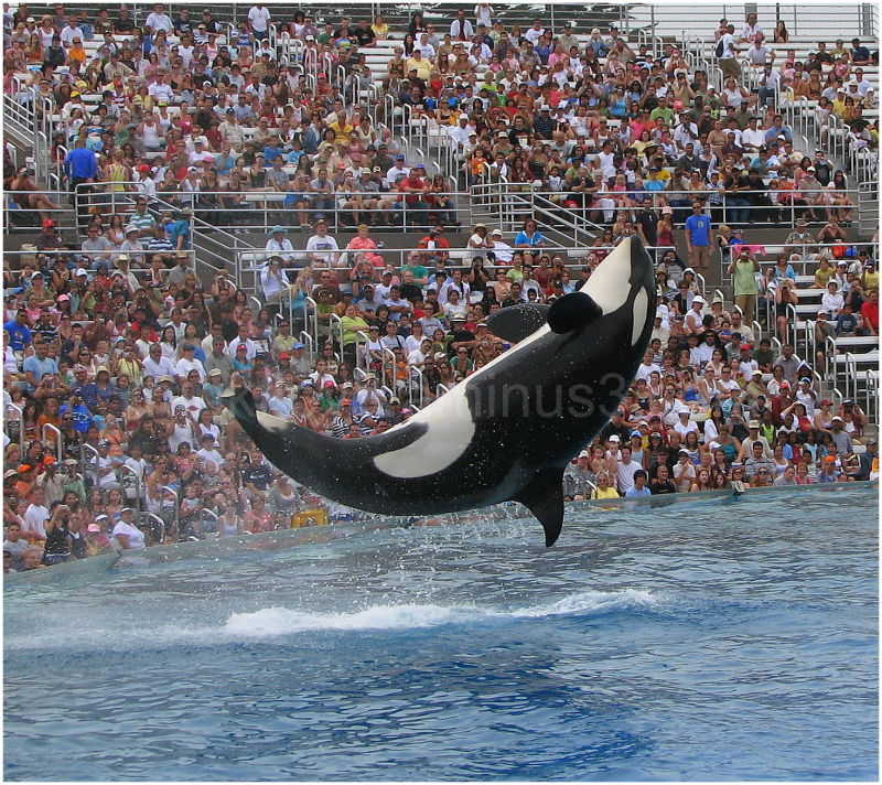 "The famous ""Shamu"" of San diego Sea world"