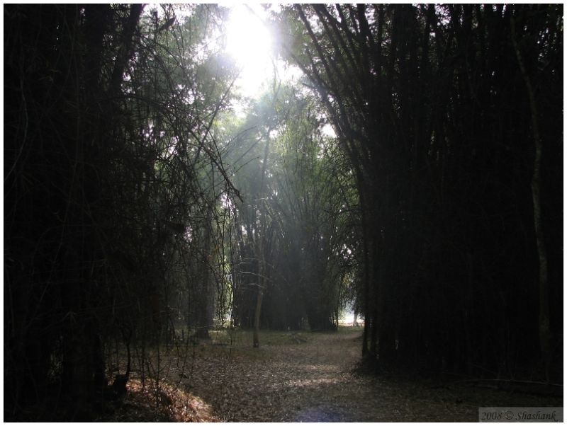 Sunrise through dense bamboos