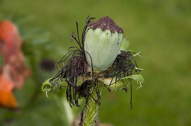 Poppy - After Flowering