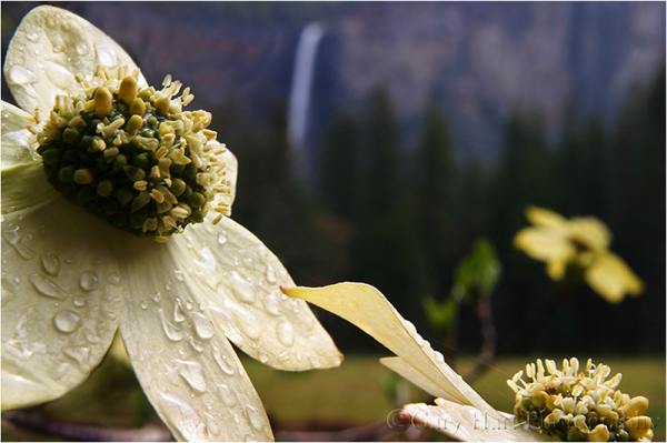 Raindrops on dogwood blossom and Bridalveil Fall