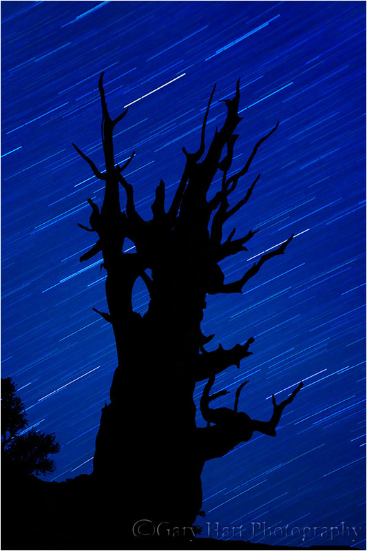 Bristlecone silhouetted against a moonless sky