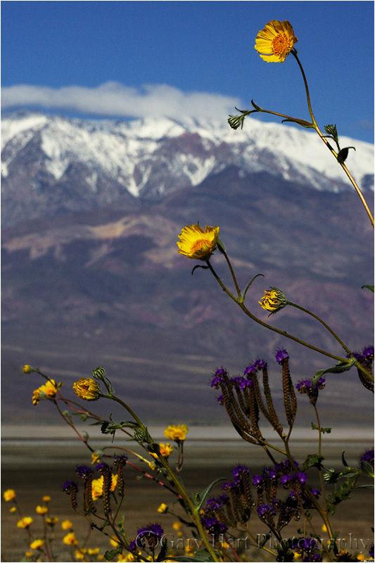 Desert Gold and Telescope Peak, Death Valley