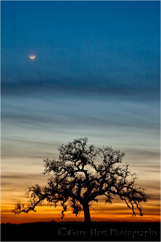 Crescent moon and oak at sunset