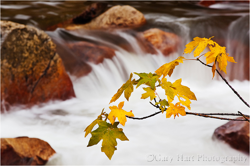 Fall leaves decorate Yosemite&#039;s Tenaya Creek