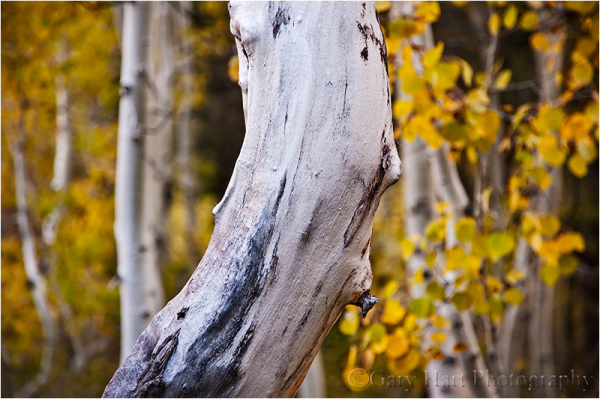 Aspen in Lundy Canyon