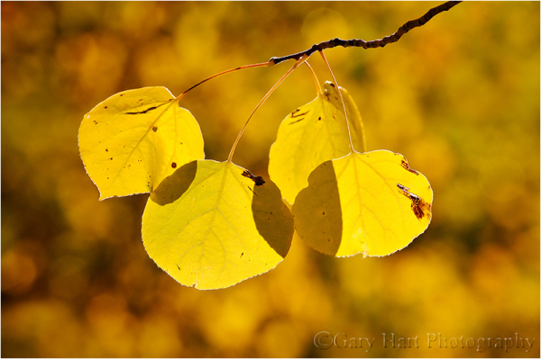 Backlit aspen in Lundy Canyon