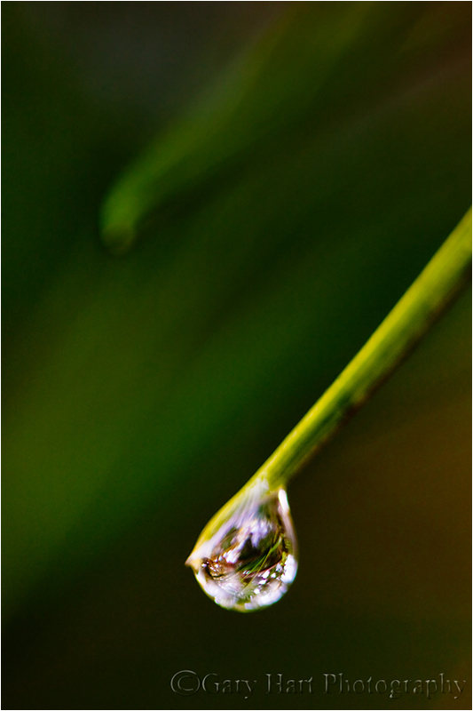 Drop of water clings to a pine needle, Point Lobos