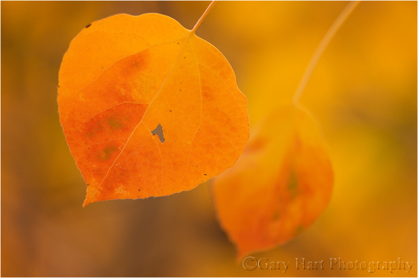 Aspen leaves, Bishop Creek Canyon, Eastern Sierra