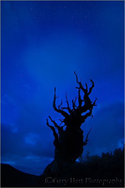 Ancient bristlecone pine night silhouette
