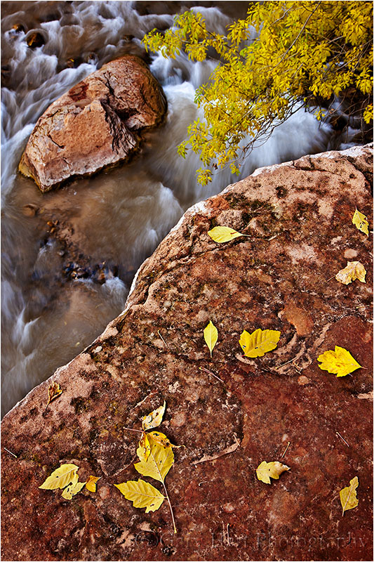 Fall leaves above the Virgin River, Zion NP