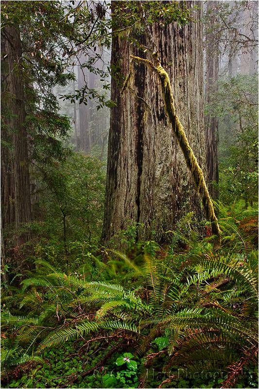 Forest Light, Lady Bird Johnson Grove, Redwood NP
