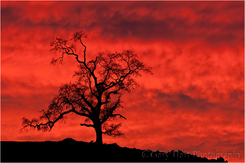 Oak at Sunset, Sierra foothills