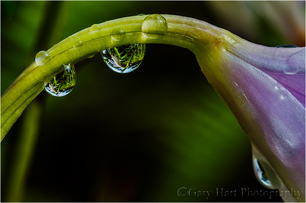 Raindrops on Orchid, Lava Tree State Park, Hawaii