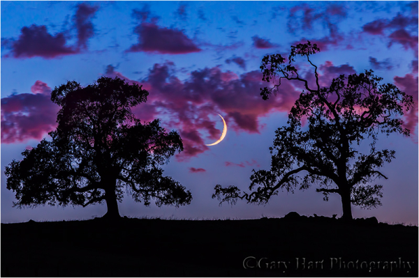 Crescent Moon and Oaks at Dusk, Sierra Foothills,