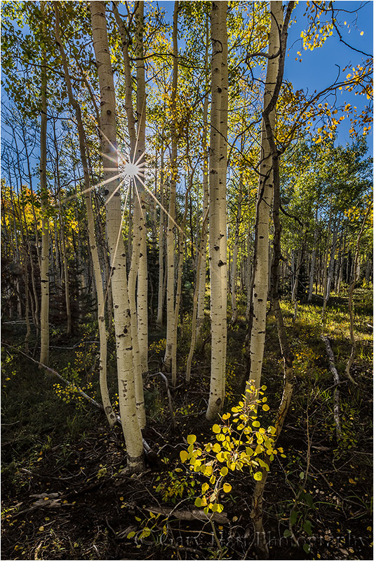 Autumn Light, North Rim Aspen, Grand Canyon