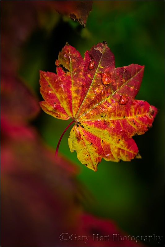 Hidden Leaf, Mt. Hood, Oregon