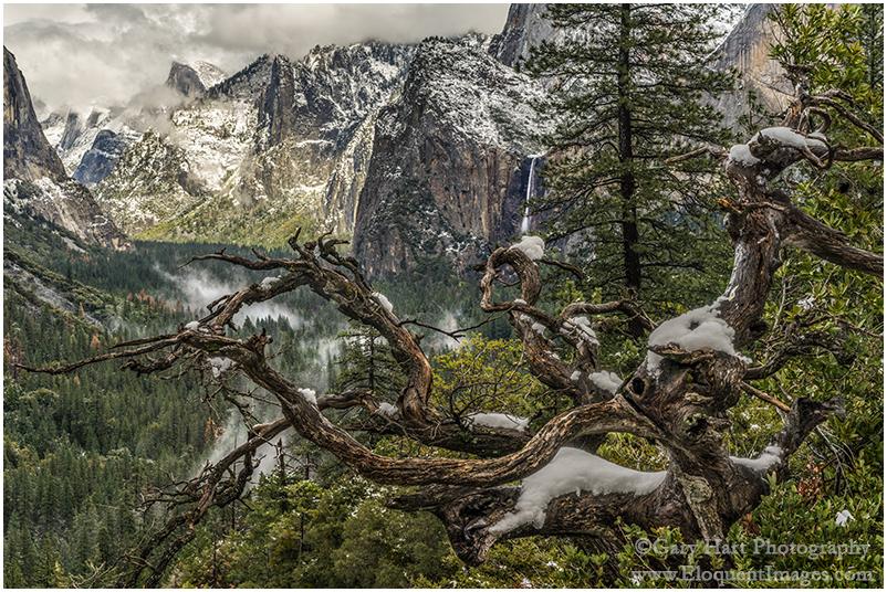 Snow on Old Tree, Yosemite