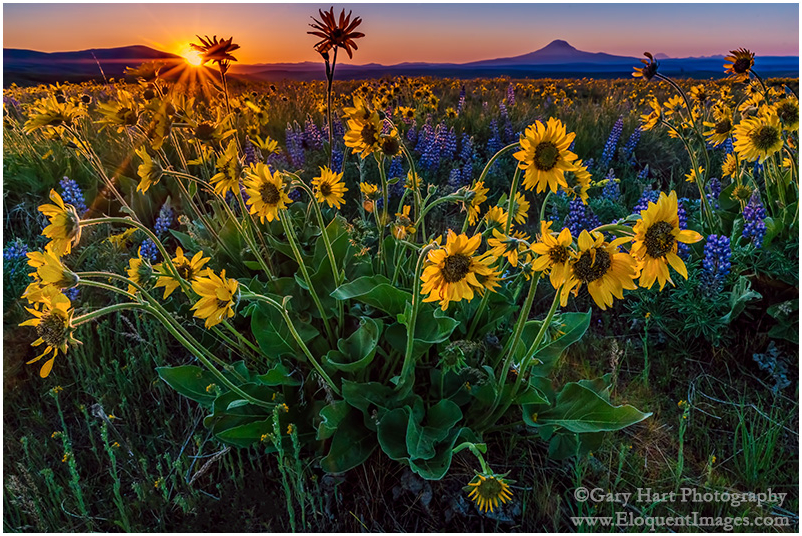 Wildflowers and Mt. Adams, Columbia River Gorge