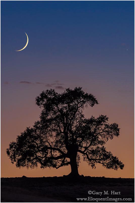 New Moon and Oak, Sierra Foothills