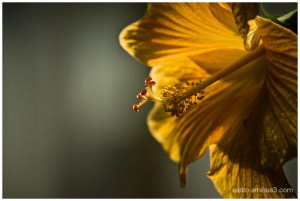 Hibiscus..