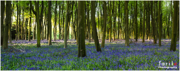 Blooming Bluebells