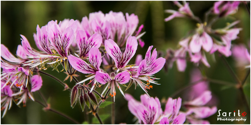 Pelargonium Cordifolium