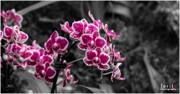 Orchid - 5