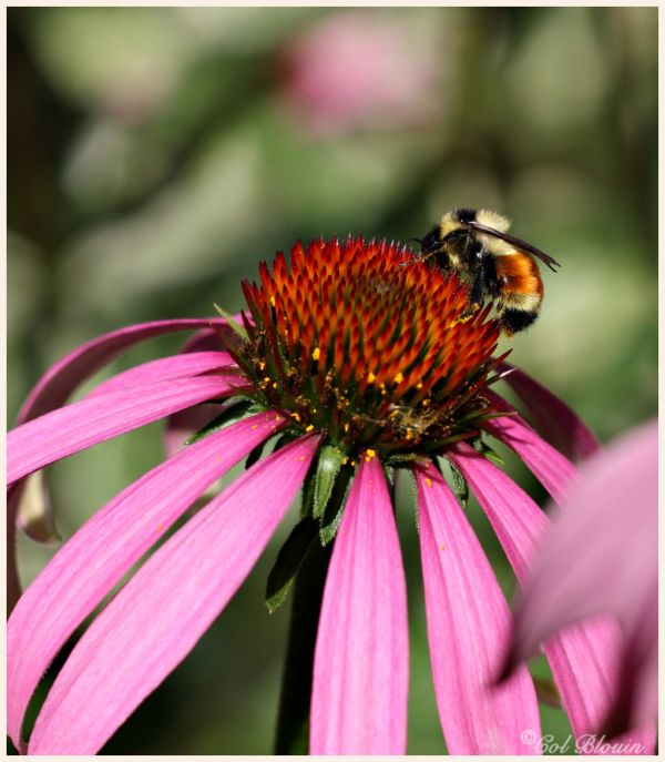 The bee and the coneflower