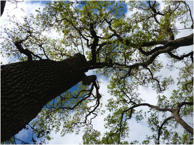 Bidwell Park trees